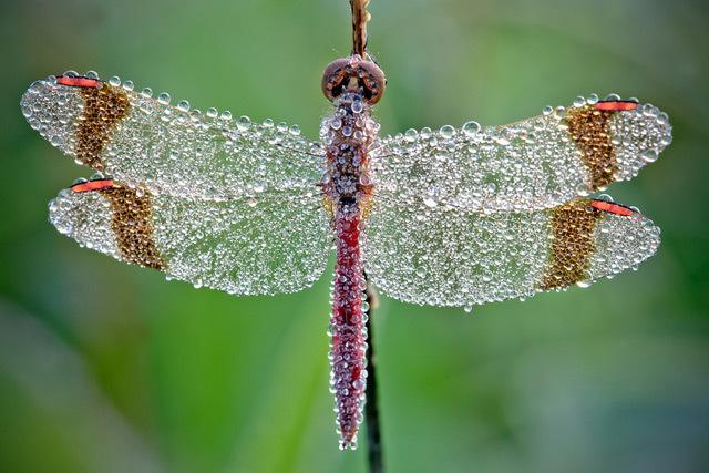 Lấp lánh những chú côn trùng bọc sương