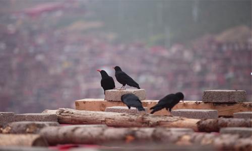 Bầy quạ trên mái nhà.