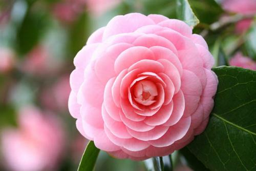 Ngoài cái tên yêu kiều, vẻ đẹp mềm mại, hoa trà my còn mang ý nghĩa đặc trưng và ẩn chứa những câu chuyện đặc biệt. Trong ngôn ngữ của các loài hoa, trà my tượng trưng cho nét đẹp duyên dáng và kiêu hãnh, mang vẻ đẹp nhẹ nhàng mà kiêu sa, phù hợp với hình ảnh của phụ nữ hiện đại.