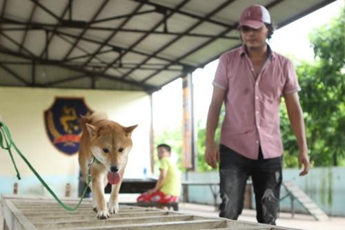 Chú chó giống Shiba Inu được sát hạch trong các bài thi kiểm tra ở vòng casting.