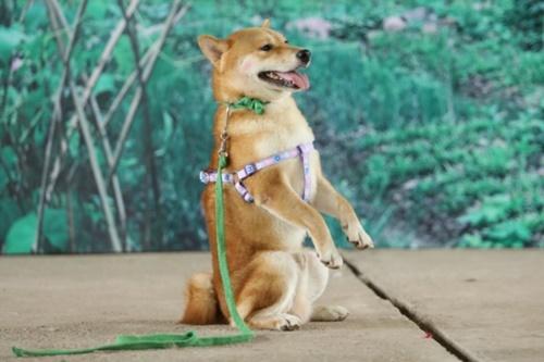Vàng - chú chó giống Shiba Inu - được chọn đóng trong phim Cậu Vàng.