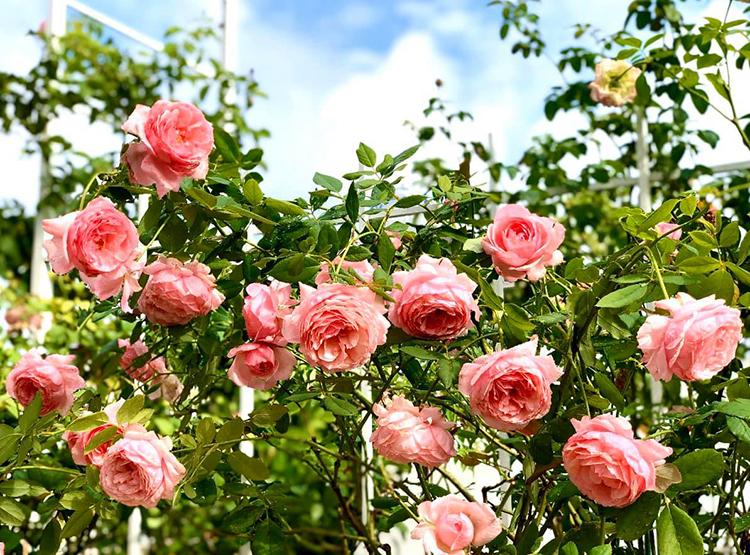 Nhà Quyền Linh có hàng chục gốc hồng được vợ chồng anh chăm bón từ nhiều năm nay. Trong ảnh là Lady Heirloom, giống hồng Nhật nổi tiếng sai hoa, cánh khum, cho mùi thơm dịu nhẹ.