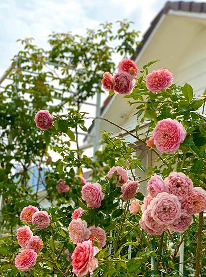 Robe A La Francaise rose - giống hồng leo Nhật được vợ Quyền Linh yêu thích vì chùm bông lớn, cánh xếp hài hòa.