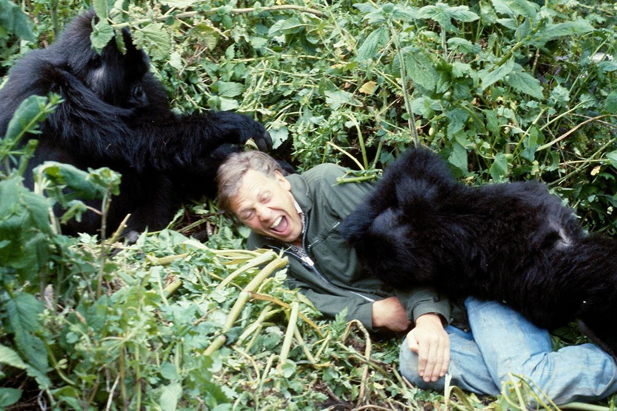 Trong phim tài liệu, ông kể về kỷ niệm tiếp xúc với khỉ đột ở Rwanda năm 1979. David tiết lộ mình nhanh chóng thân thiết với loài hoang dã này vì chúng đối tượng săn bắt quen thuộc của bọn buôn lậu, quen hơi con người. Ảnh: BBC.