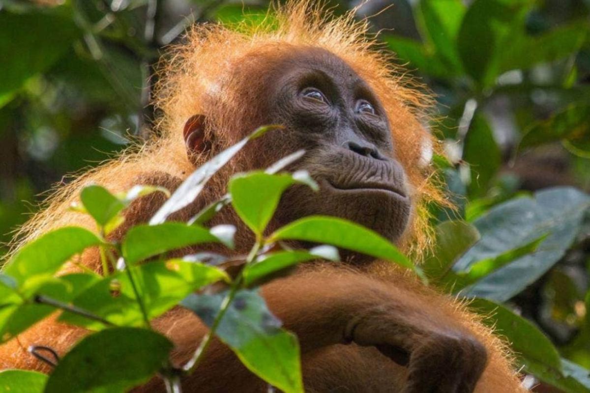 Loài đười ươi (orangutan) phụ thuộc hoàn toàn vào rừng xanh. Chúng làm tổ trên cao, ăn trái vải, măng cụt, và uống nước từ hốc cây. Ảnh: Netflix.