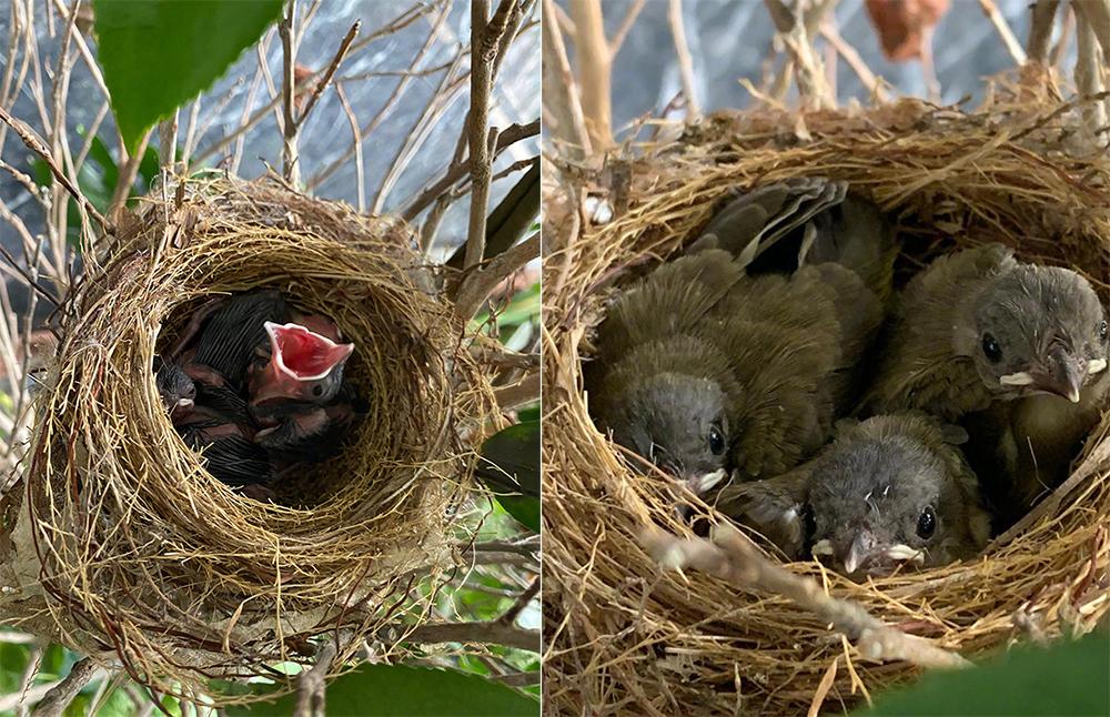 Chim làm tổ ở nhà Chung Sở Hồng. Ảnh: Weibo/Zhongchuhong.